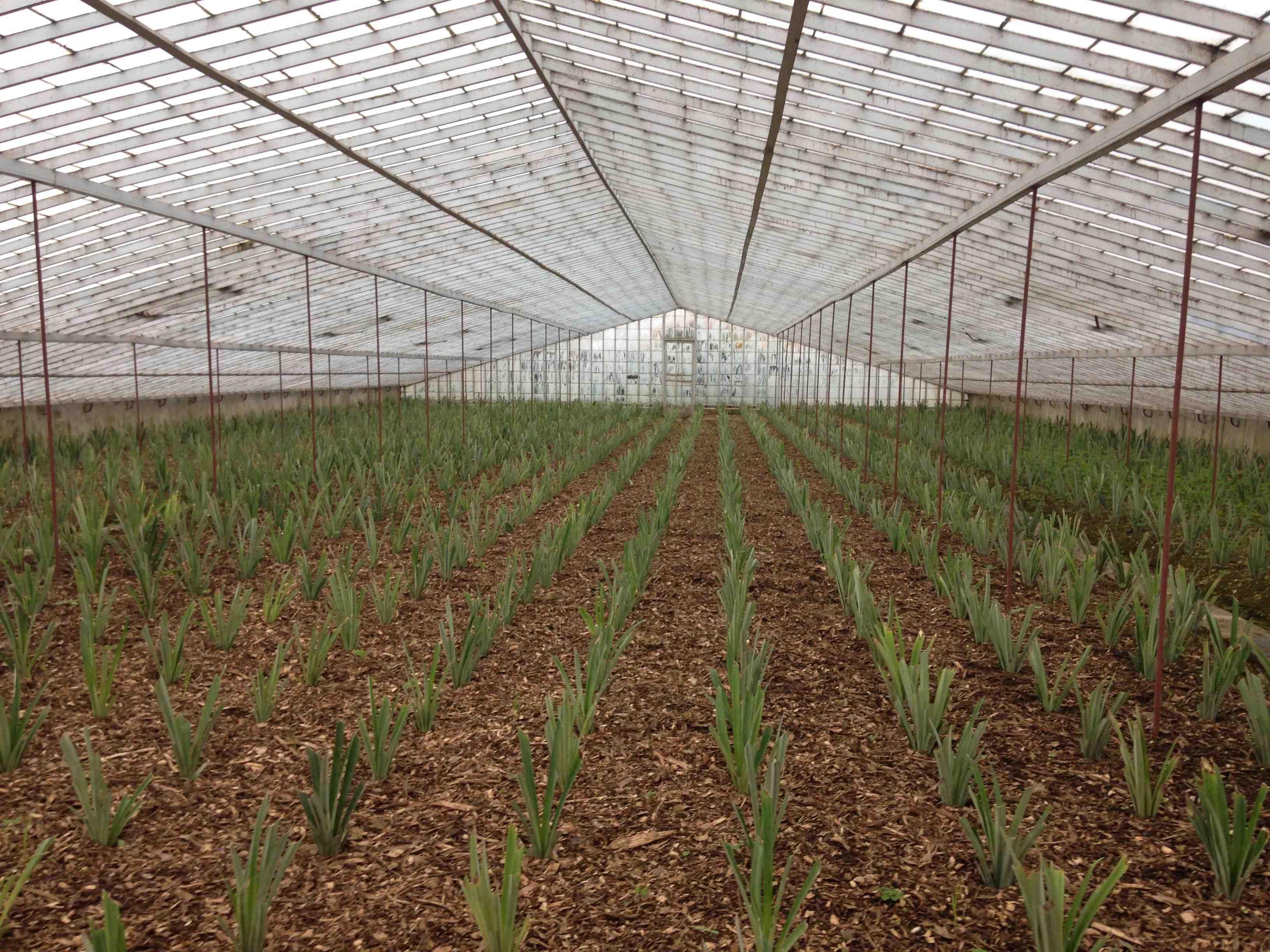 plantação ananás