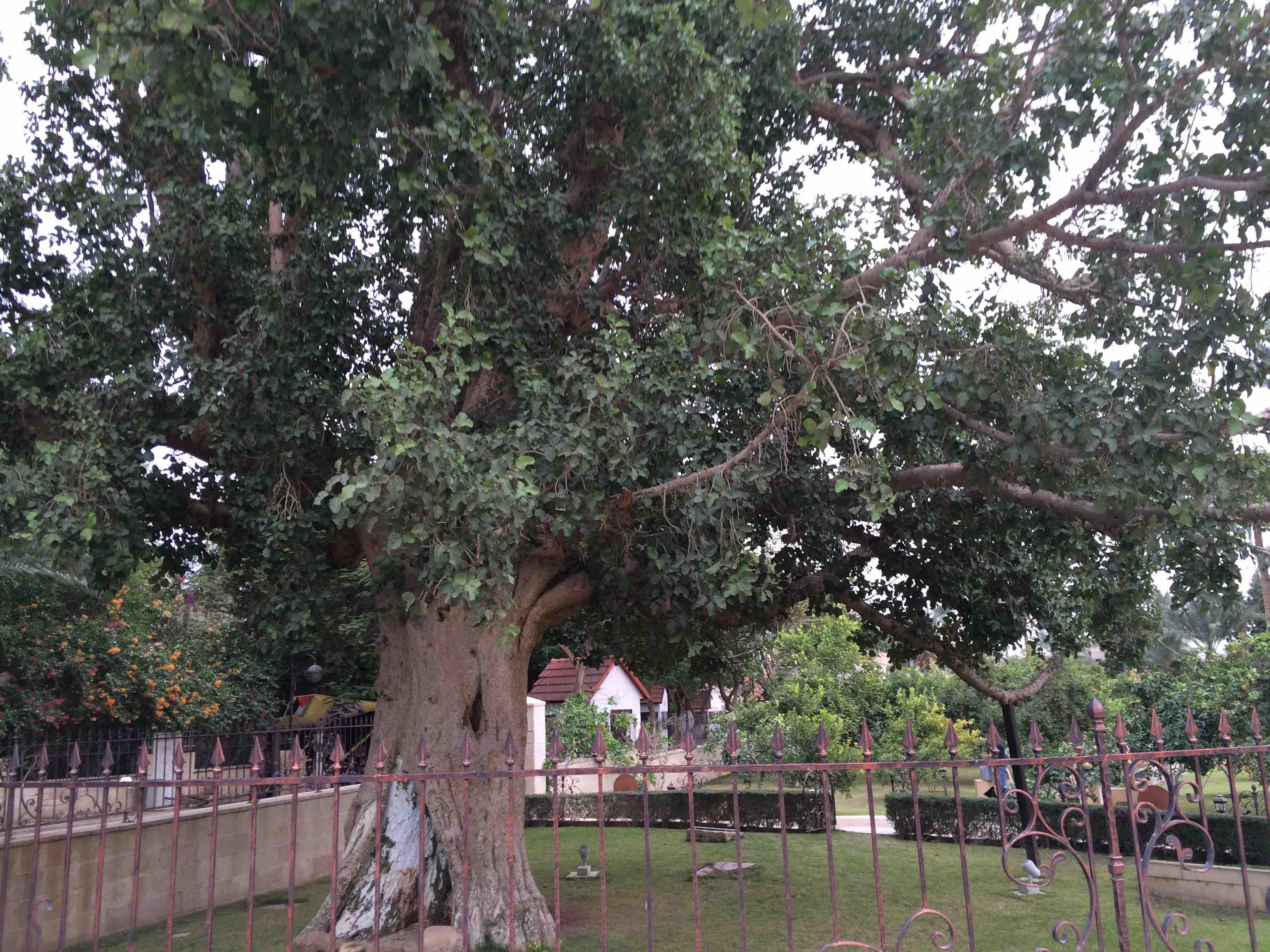 tree-of-zacchaeus